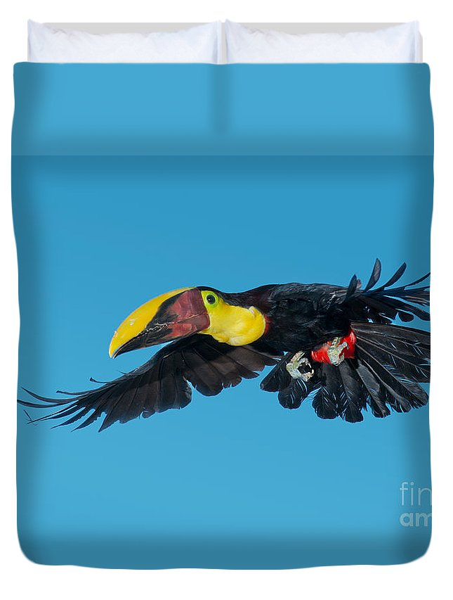 Animal Duvet Cover featuring the photograph Chestnut-mandibled Toucan Flying by Anthony Mercieca