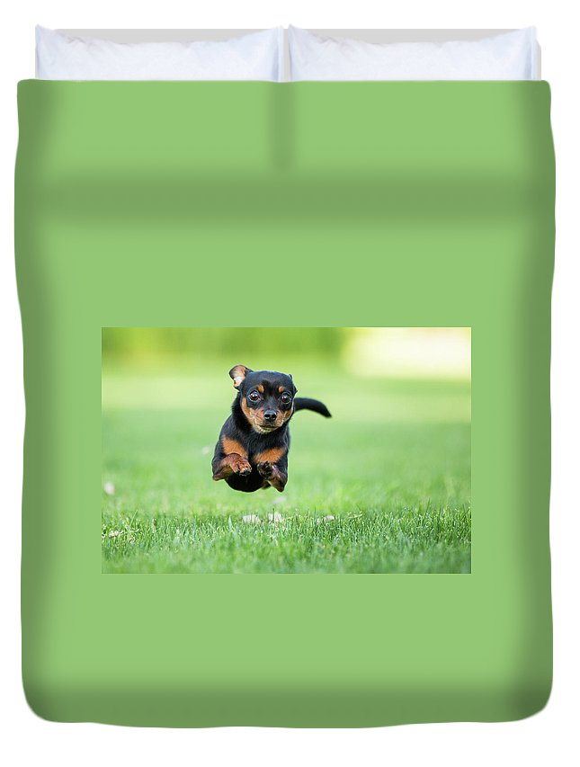 Pets Duvet Cover featuring the photograph Chihuahua Dog Running by Purple Collar Pet Photography