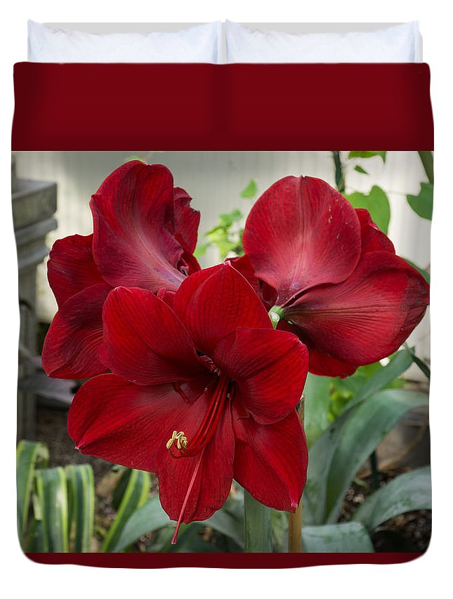 Christmas Red Duvet Cover featuring the photograph Christmas Red Amaryllis Flowers by Georgia Mizuleva