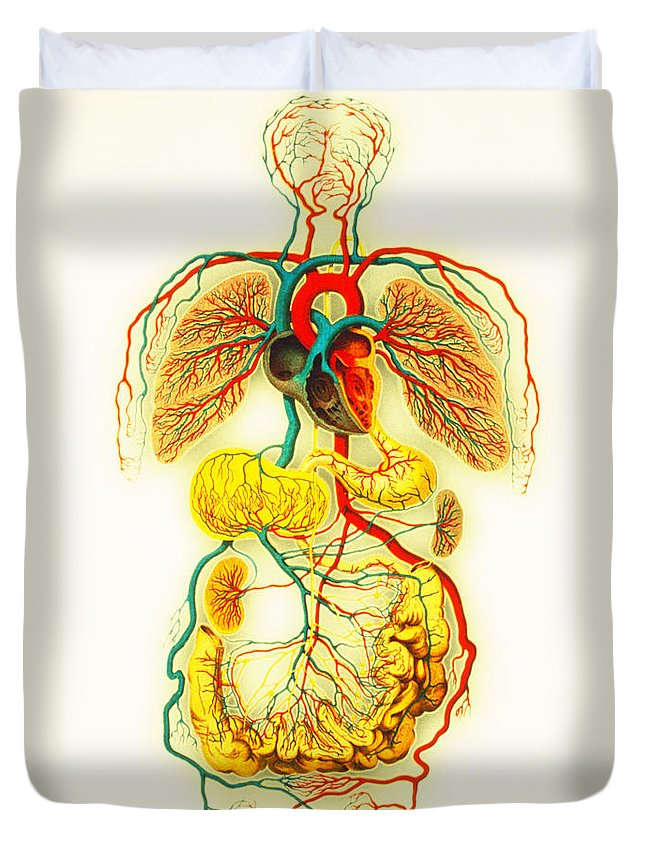 Blood Circulation Duvet Cover featuring the photograph Circulatory System by Scott Camazine