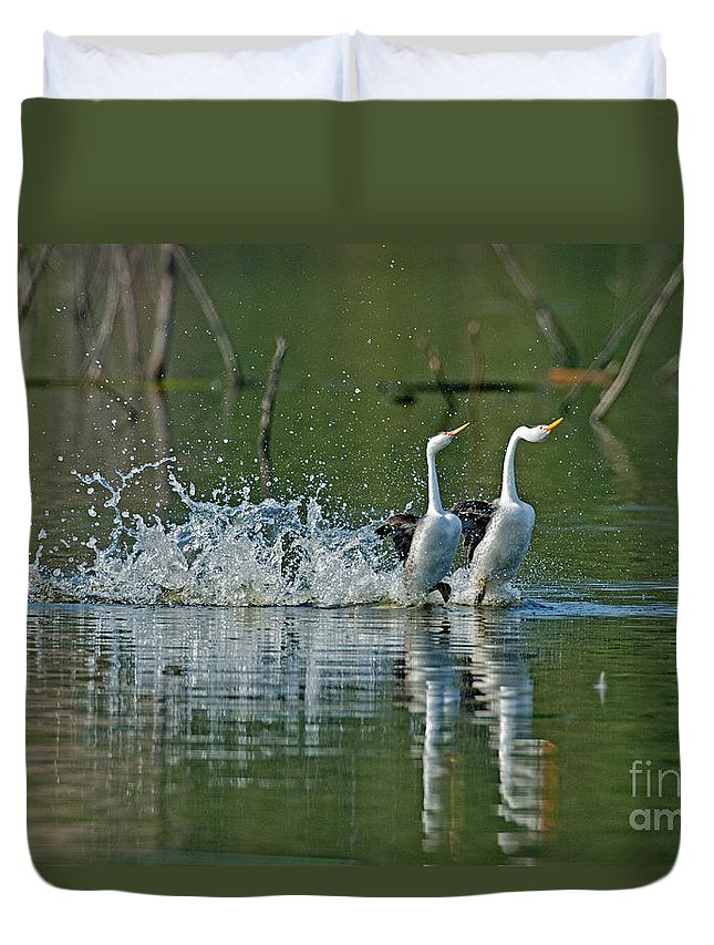 Fauna Duvet Cover featuring the photograph Clarks Grebes Dancing by Anthony Mercieca