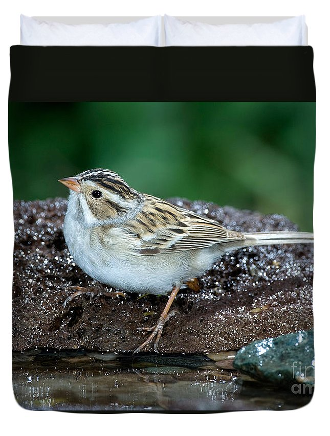 Fauna Duvet Cover featuring the photograph Clay-colored Sparrow Spizella Pallida by Anthony Mercieca