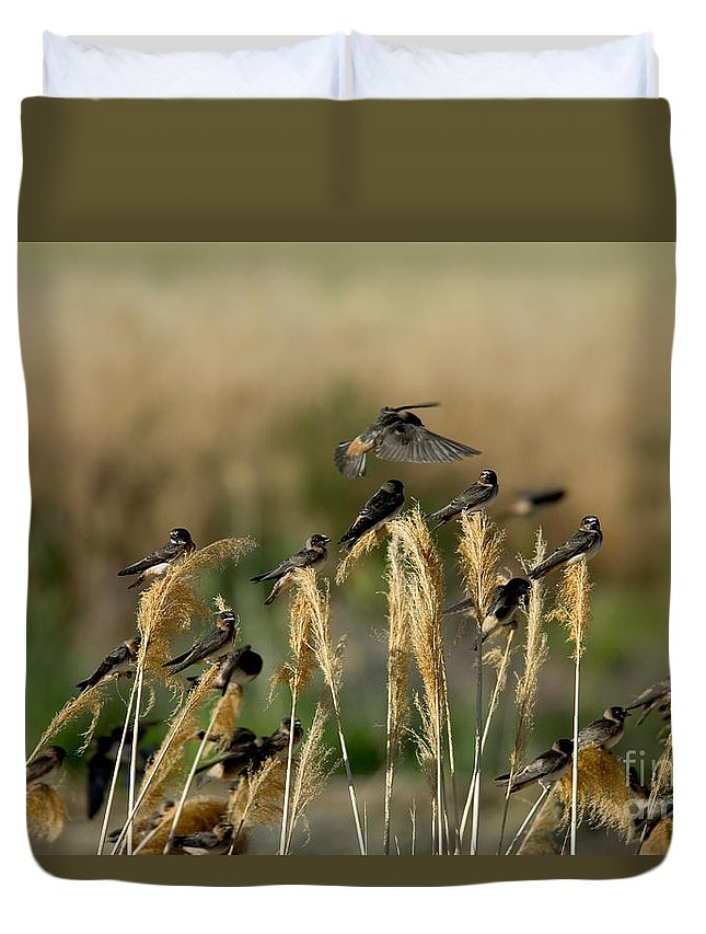 Animal Duvet Cover featuring the photograph Cliff Swallows Perched On Grasses by Anthony Mercieca
