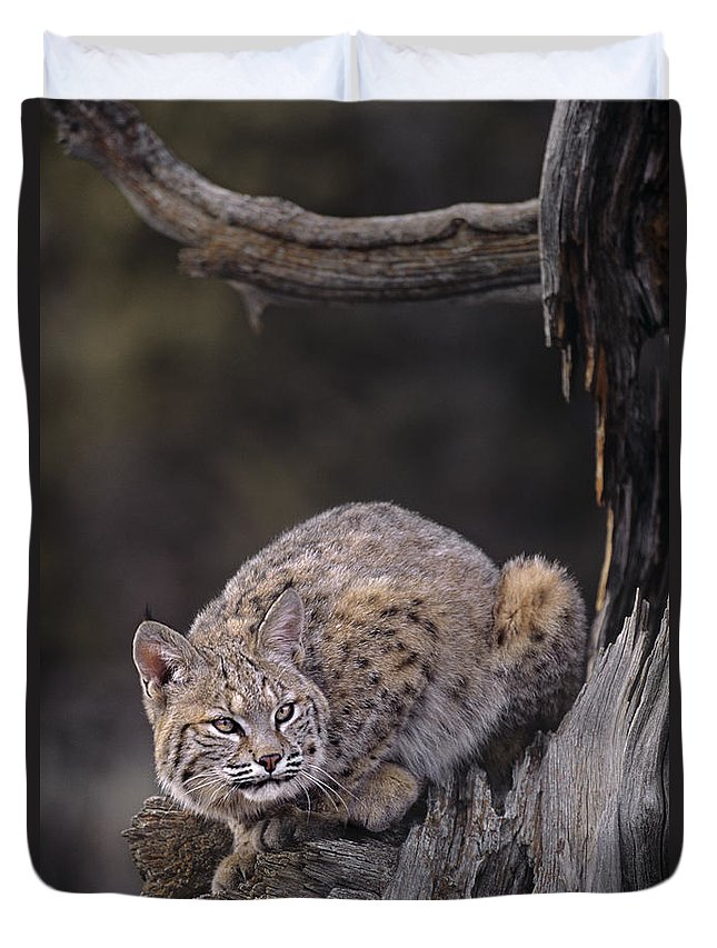 North America Duvet Cover featuring the photograph Crouching Bobcat Montana Wildlife by Dave Welling