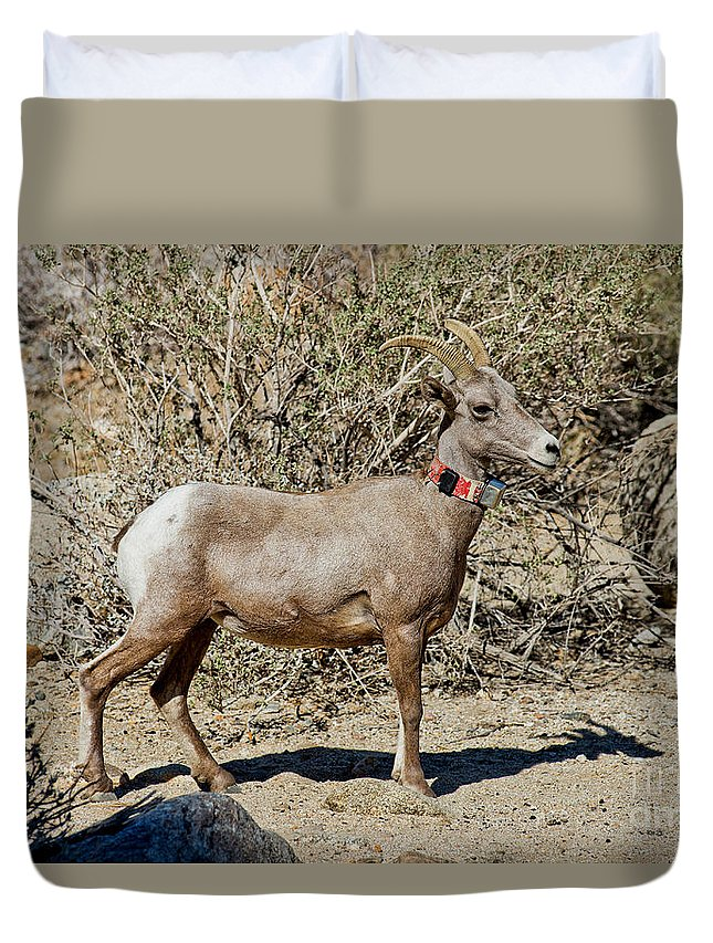Animal Duvet Cover featuring the photograph Desert Bighorn Sheep Ewe With Radio by Anthony Mercieca