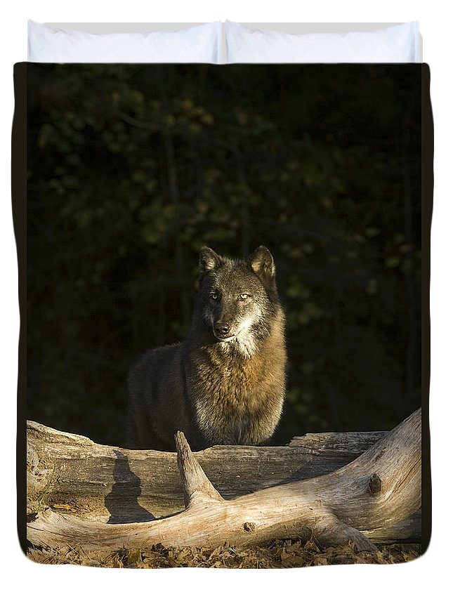 Wolf Duvet Cover featuring the photograph Dusk by Jack Milchanowski