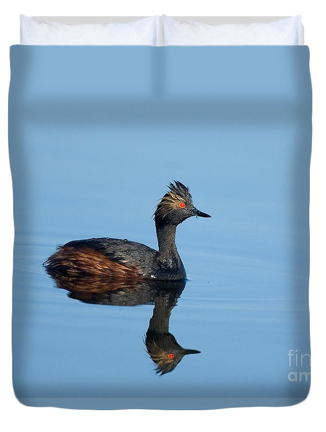 Fauna Duvet Cover featuring the photograph Eared Grebe Podiceps Nigricollis by Anthony Mercieca