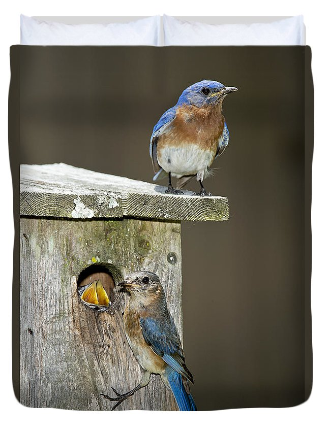 Eastern Bluebird Duvet Cover featuring the photograph Eastern Bluebird Family by Anthony Mercieca