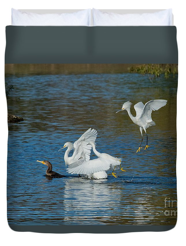 Snowy Egret Duvet Cover featuring the photograph Egrets Robbing A Cormorant by Anthony Mercieca