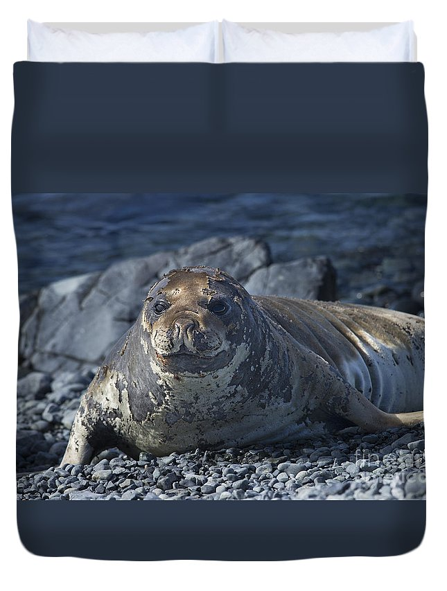 Elephant Seal Duvet Cover featuring the photograph Elephant Seal Pup... by Nina Stavlund