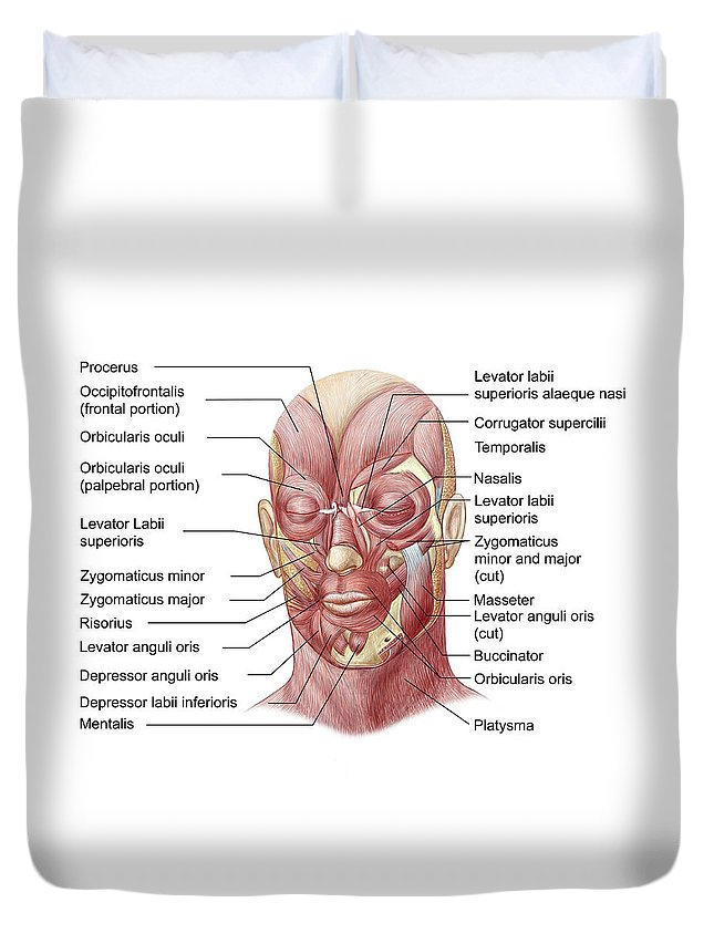 Corrugator Supercilii Duvet Cover featuring the photograph Facial Muscles Of The Human Face by Stocktrek Images