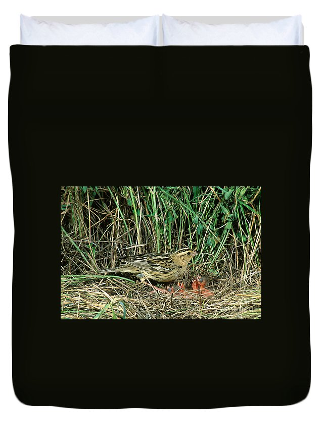 Bobolink Duvet Cover featuring the photograph Female Bobolink At Nest by Anthony Mercieca