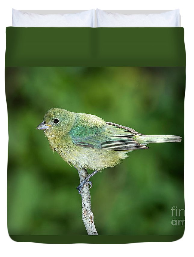 Fauna Duvet Cover featuring the photograph Female Painted Bunting Passerina Ciris by Anthony Mercieca