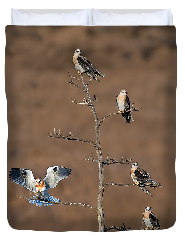 Animal Duvet Cover featuring the photograph Five White-tailed Kite Siblings by Anthony Mercieca