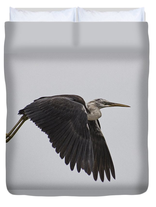 Flight Duvet Cover featuring the photograph Flight Of The White Necked Heron by Douglas Barnard