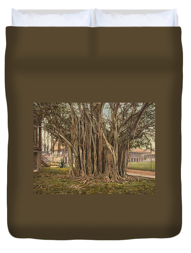 1890 Duvet Cover featuring the painting Florida Rubber Tree, C1900 by Granger
