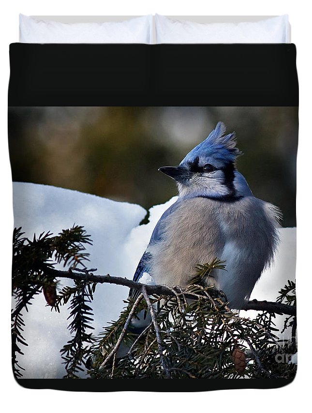 Blue Jay Duvet Cover featuring the photograph Fluffy Blue Jay by Rick Mousseau
