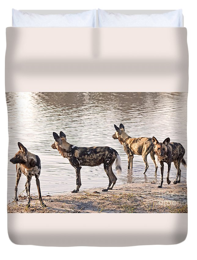 Carnivore Duvet Cover featuring the photograph Four Alert African Wild Dogs by Liz Leyden