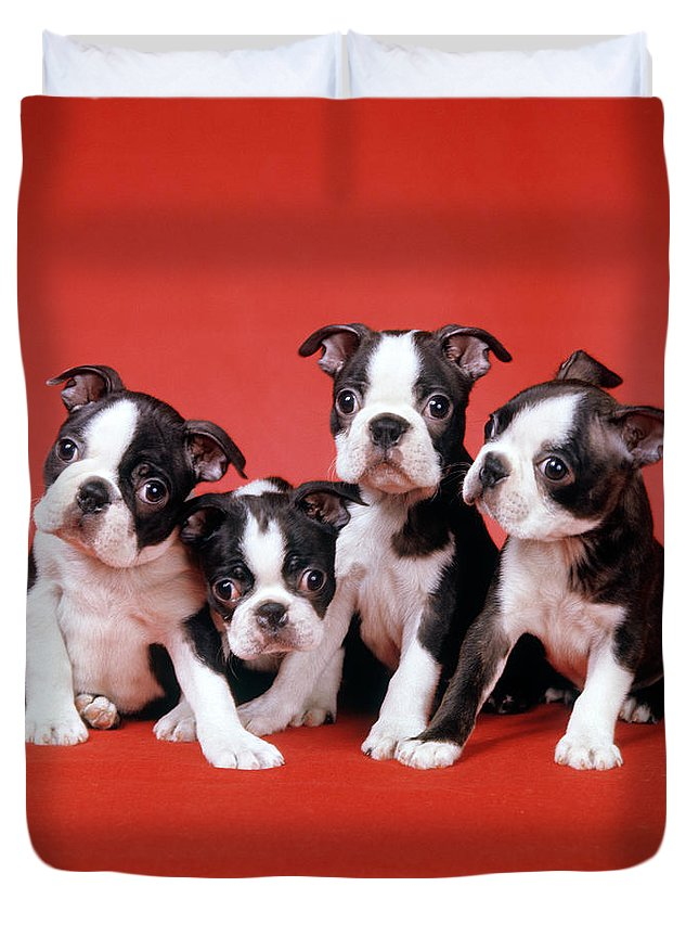 Photography Duvet Cover featuring the photograph Four Boston Terrier Puppies On Red by Vintage Images