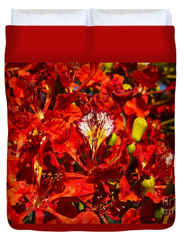 Port Douglas Australia Australian Poinciana Tree Trees Bloom Blooms Flower Flowers Poincianas Duvet Cover featuring the photograph Giant Poinciana Blooms by Bob Phillips