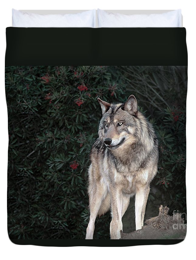 Gray Wolf Duvet Cover featuring the photograph Gray Wolf Endangered Species Wildlife Rescue by Dave Welling