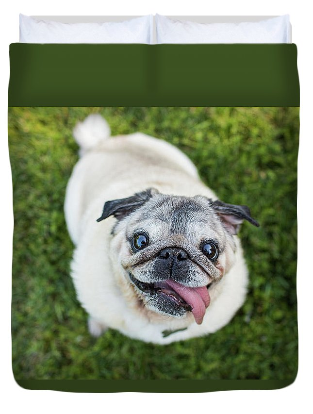 Pets Duvet Cover featuring the photograph Happy Pug Dog Looks Up At Camera by Purple Collar Pet Photography