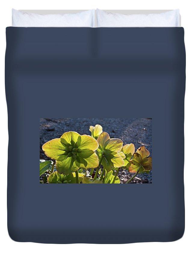 Heleborus Duvet Cover featuring the photograph Helleborus Backlight Blossoms 2 by Douglas Barnett