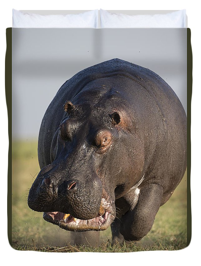 Vincent Grafhorst Duvet Cover featuring the photograph Hippopotamus Bull Charging Botswana by Vincent Grafhorst