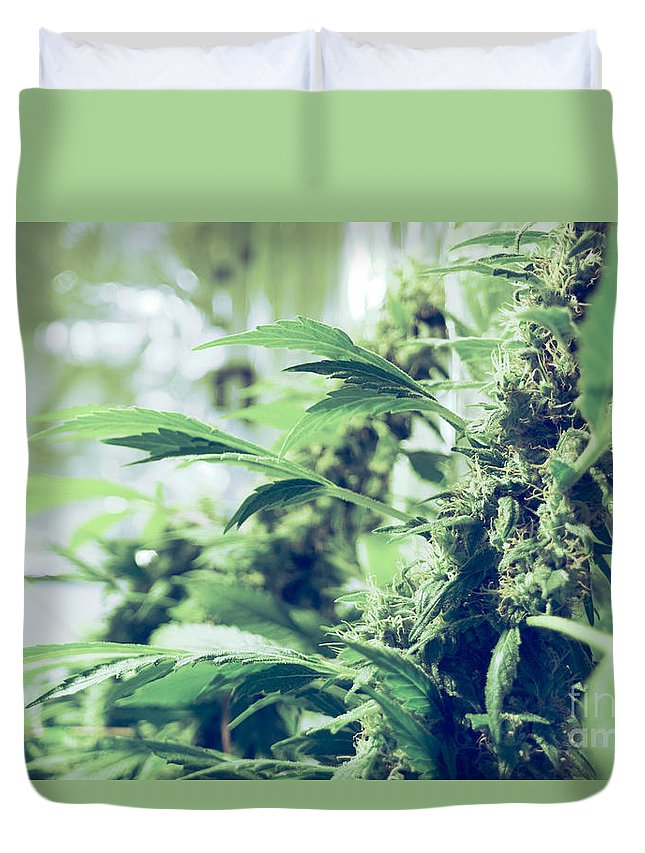 Marijuana Duvet Cover featuring the photograph Home Grown Cannabis Plants. by Shay Fogelman