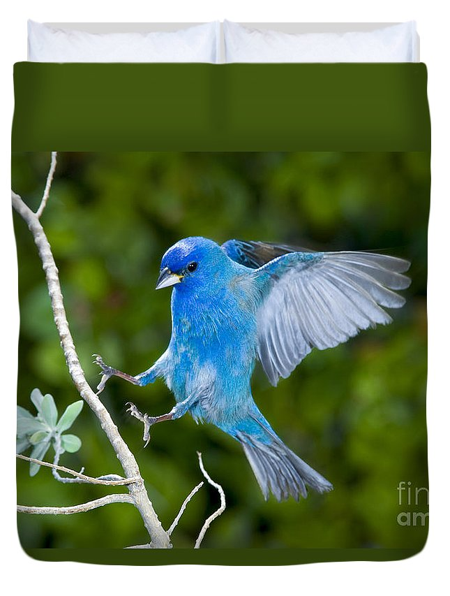 Fauna Duvet Cover featuring the photograph Indigo Bunting Alighting by Anthony Mercieca