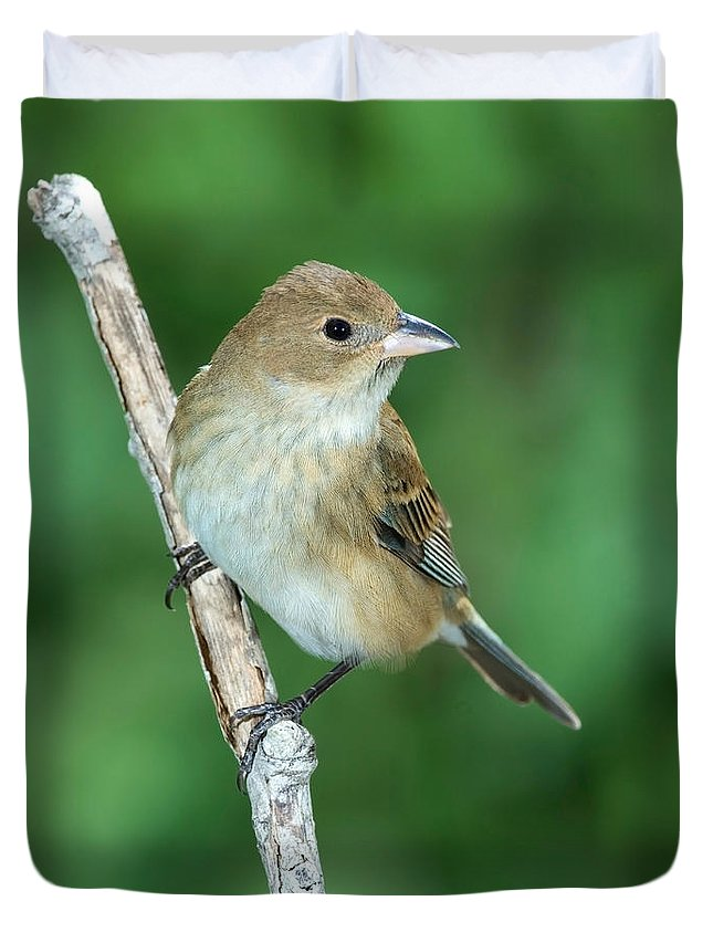 Fauna Duvet Cover featuring the photograph Indigo Bunting Passerina Cyanea Female by Anthony Mercieca