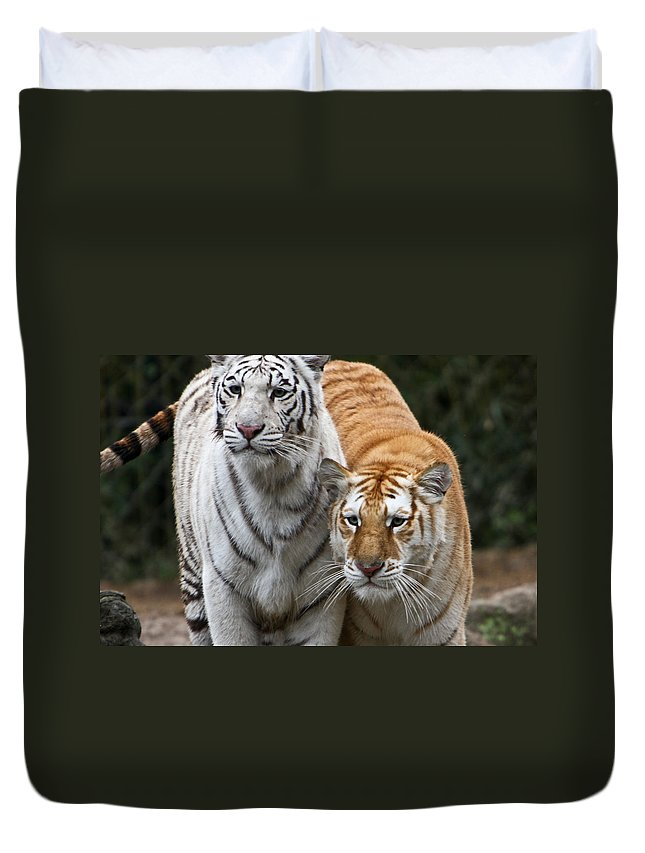 Tiger Duvet Cover featuring the photograph Intent Tigers by Douglas Barnett