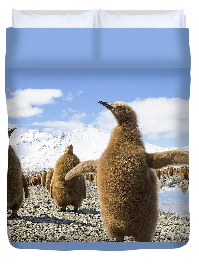 00345959 Duvet Cover featuring the photograph King Penguin Chicks by Yva Momatiuk and John Eastcott