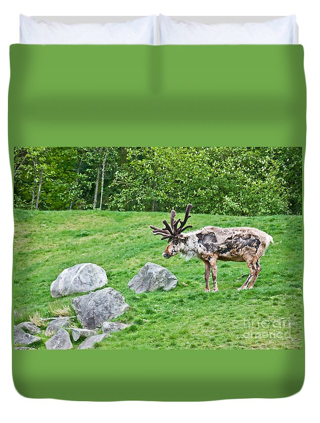 Reindeer Duvet Cover featuring the photograph Large Reindeer Molting In Summer Pasture Art Prints by Valerie Garner