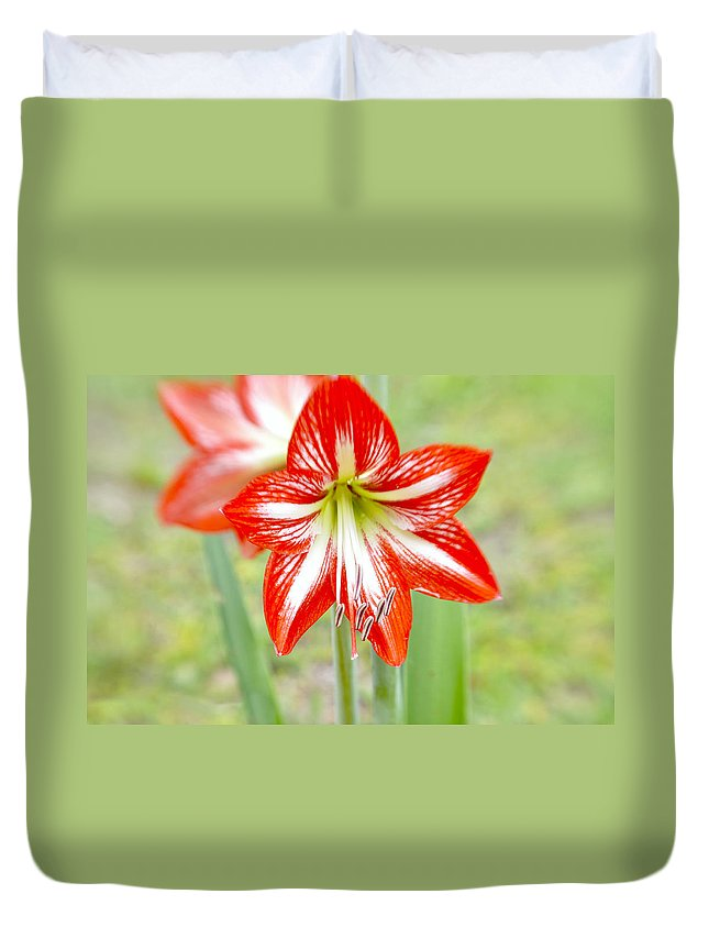 Genus Duvet Cover featuring the photograph Lensbaby 2 Orange Red And White Amaryllis Blooms by Sally Rockefeller