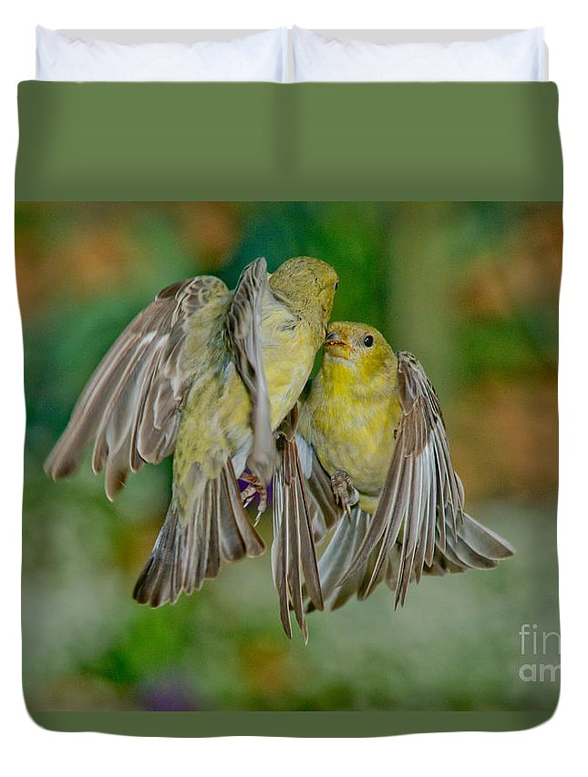 Lesser Goldfinch Duvet Cover featuring the photograph Lesser Goldfinch Females Fighting by Anthony Mercieca