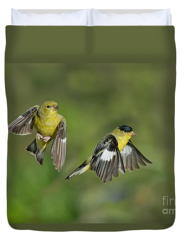 Lesser Goldfinch Duvet Cover featuring the photograph Lesser Goldfinch Pair In Flight by Anthony Mercieca