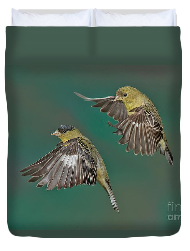 Lesser Goldfinch Duvet Cover featuring the photograph Lesser Goldfinch Pair In The Air by Anthony Mercieca