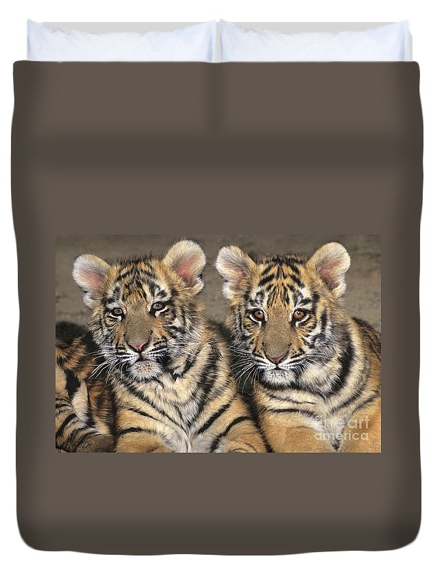 Bengal Tigers Duvet Cover featuring the photograph Little Angels Bengal Tigers Endangered Wildlife Rescue by Dave Welling