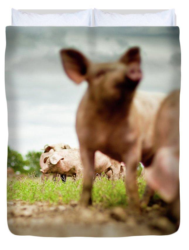 Pig Duvet Cover featuring the photograph Little Pigs by Emmanuelle Brisson