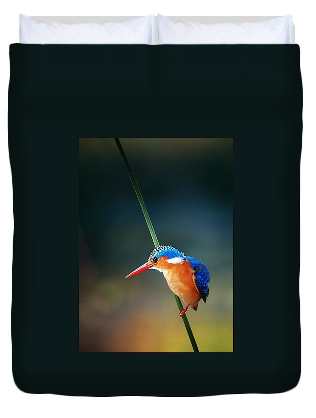 Wild; Wildlife; Animal; Bird; African; Africa; Safari Animals; Wilderness; Nature; Outdoor; Nobody; Kruger; National; Park; Kingfisher; Malachite; Alcedo; Cristata; Portrait; One; Sit; Perch; Rest; Cling; Branch; Side; View; Reed; Exotic; Colour; Colourful; Color; Colorful; Feather; Orange; Blue; Red; Small; Sharp; Bill; Beak; Long Duvet Cover featuring the photograph Malachite Kingfisher by Johan Swanepoel