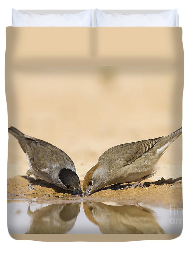 Blackcap Duvet Cover featuring the photograph Male And Female Eurasian Blackcap by Eyal Bartov