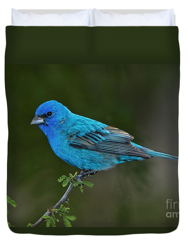 Indigo Bunting Duvet Cover featuring the photograph Male Indigo Bunting by Anthony Mercieca
