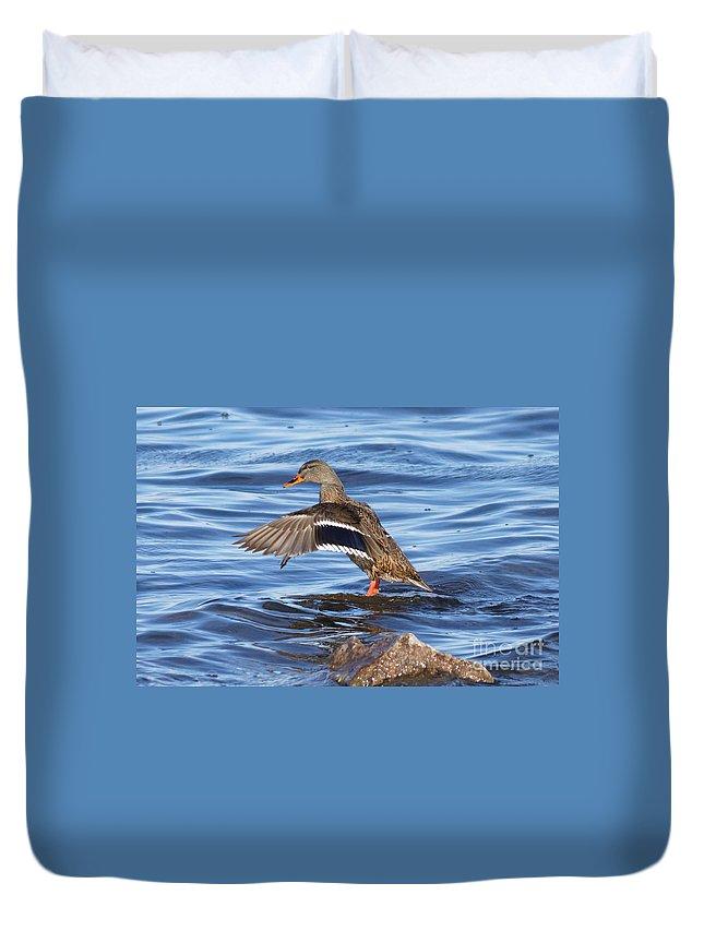 Mallard Duck Duvet Cover featuring the photograph Mallard Duck Showing Off by Lori Tordsen
