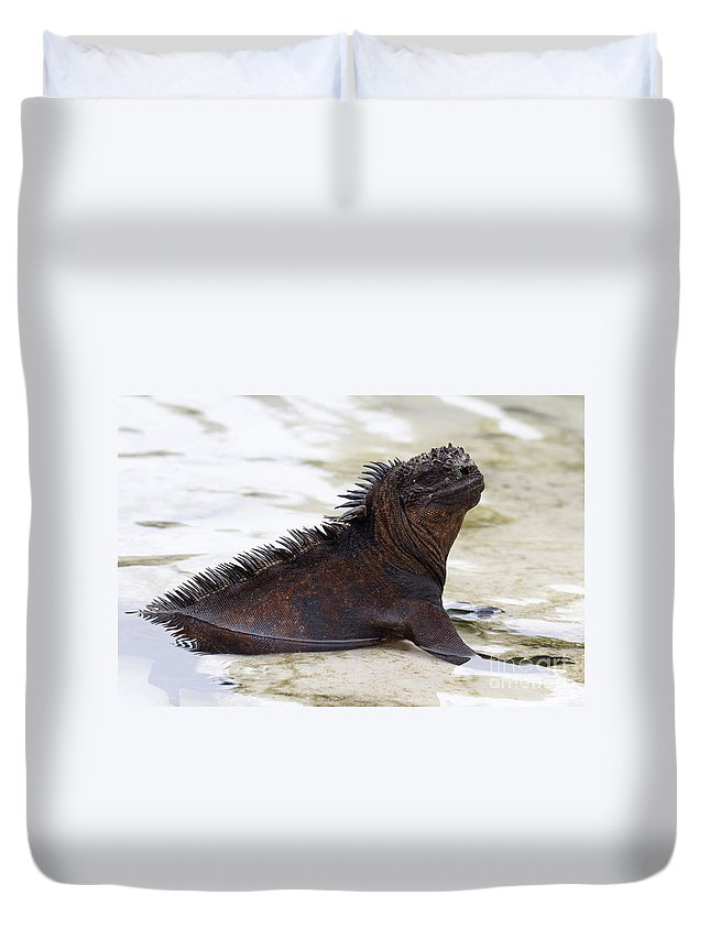 Marine Iguana Duvet Cover featuring the photograph Marine Iguana Galapagos by Jason O Watson