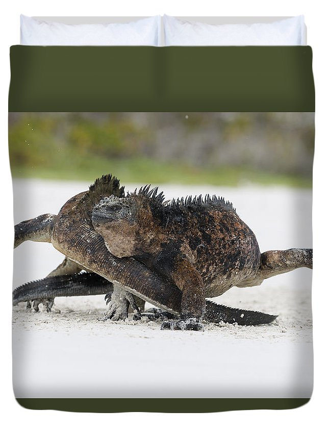Tui De Roy Duvet Cover featuring the photograph Marine Iguana Males Fighting Turtle Bay by Tui De Roy