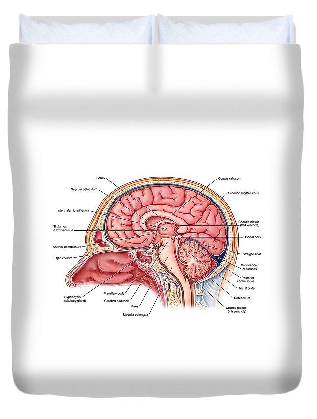 Midsagittal Brain Illustration Duvet Cover For Sale By Evan Oto