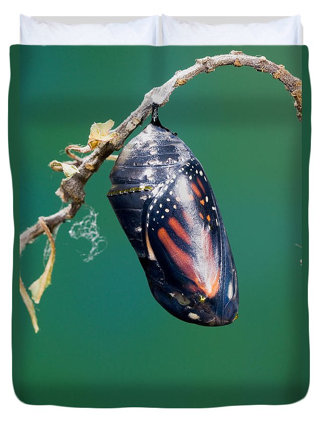 Animal Duvet Cover featuring the photograph Monarch Butterfly Ready To Emerge by Anthony Mercieca