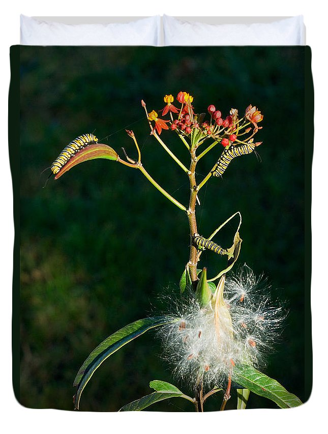 Monarch Caterpillar Duvet Cover featuring the photograph Monarch Caterpillars On Milkweed by Anthony Mercieca