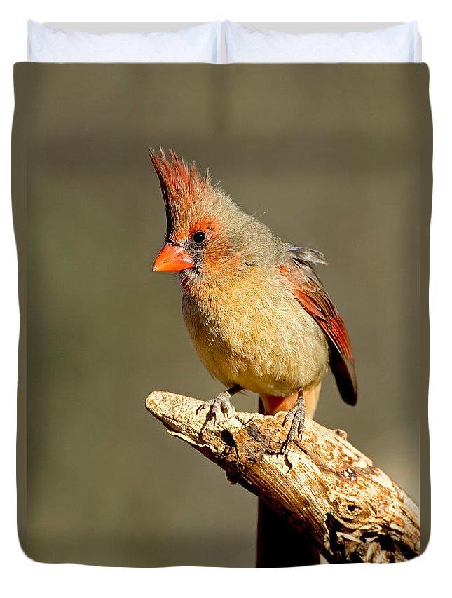 Fauna Duvet Cover featuring the photograph Northern Cardinal Cardinalis Cardinalis by Anthony Mercieca